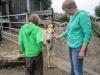 Auf der Happy-Horse-Farm: das Fohlen ist 3 Wochen alt